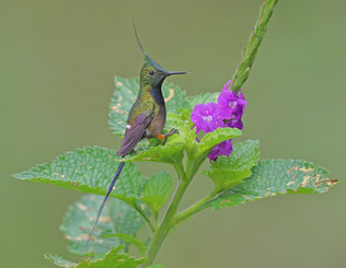 Male Wire-crested Thorntail Portrait, Peru