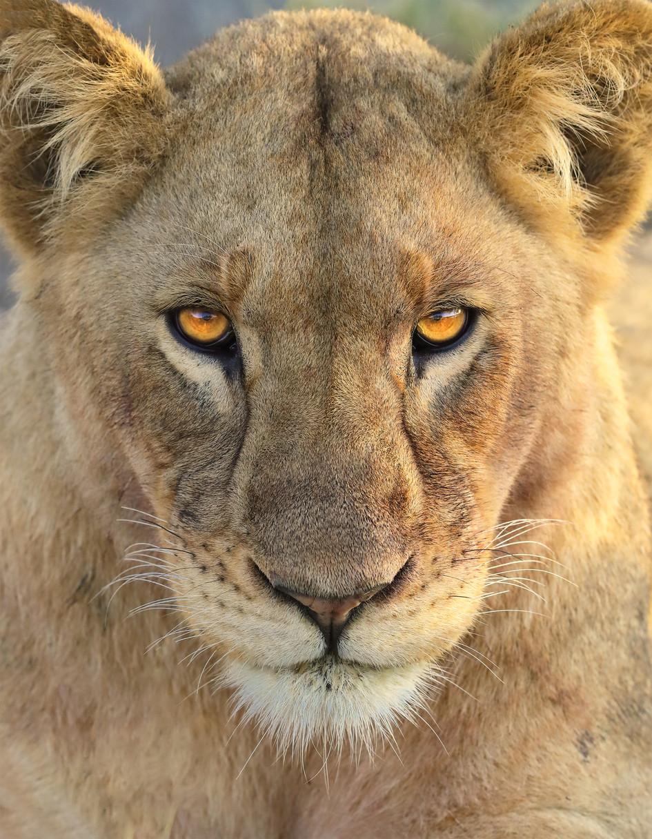 Portrait:  Lioness in Early Morning Sun, Tanzania