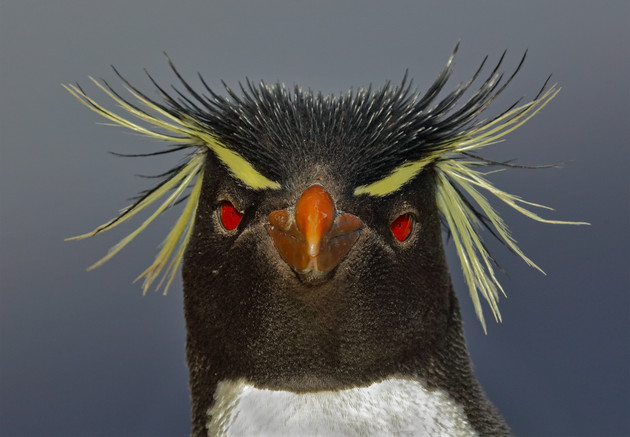 Southern Rockhopper Penguin Stare, Falkland Islands