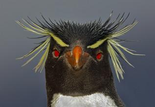 Southern Rockhopper Penguin Stare, Falkland Islands