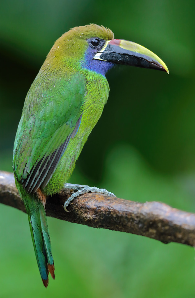 Northern Emerald Toucanet, Costa Rica