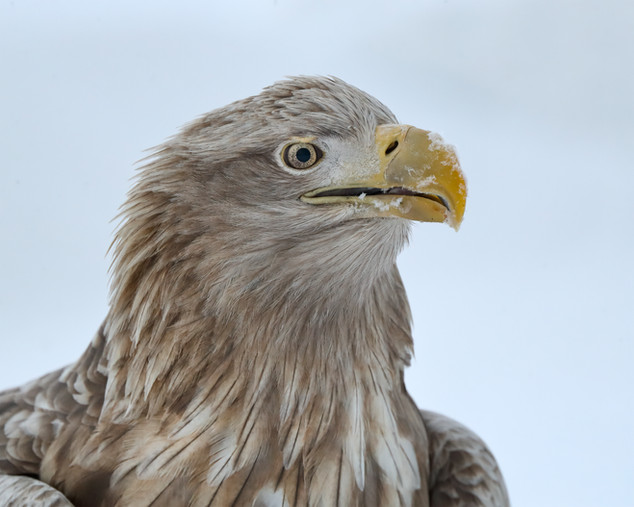 White-tailed Eagle Head & Shoulders, Hokkaido, Japan