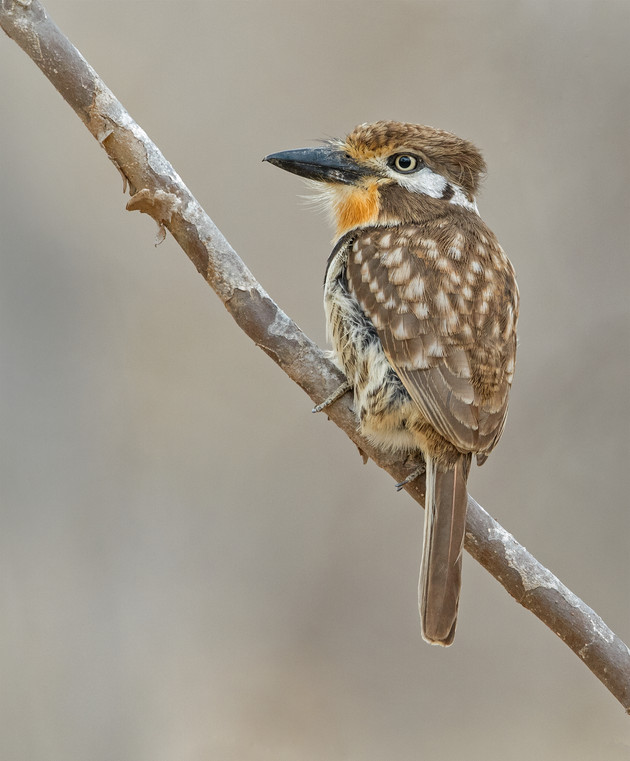 Russet-throated Puffbird, Colombia