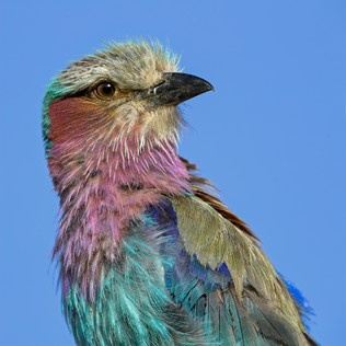 Lilac-breasted Roller, Tanzania