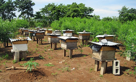 Honey of Cajola is a newly founded business in Cajola that helps increase honey harvests.