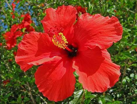 haiti-hibiscus.webp