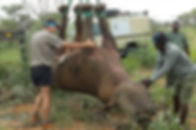 Waterburg Rhino Hanging Study.jpg