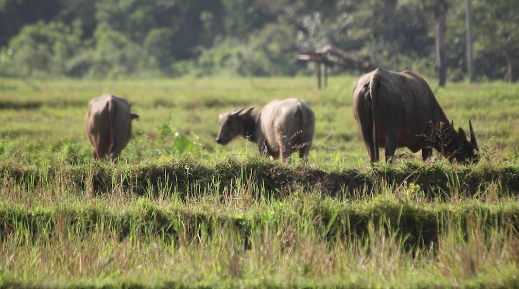 Cegog Water Buffalo in Field.png