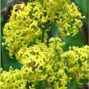 Lady's Bedstraw Wildflower Seed (Galium Verum)