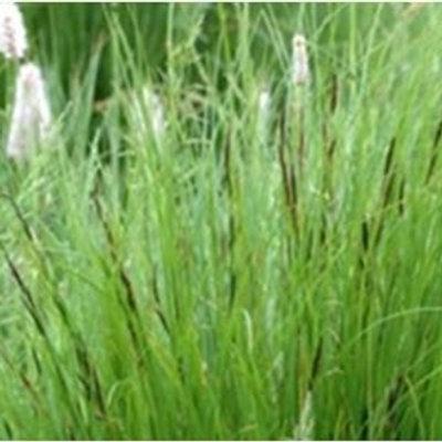 Common Sedge Wildflower Seed (Carex Nigra)