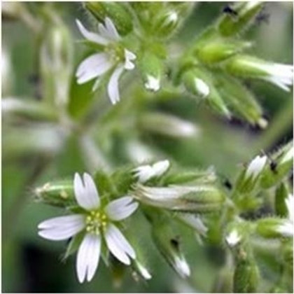 Common Mouse Ear Wildflower Seed (Cerastium Fontanum)