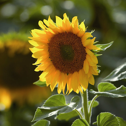 Giant Sunflower Seed (5kg per acre)