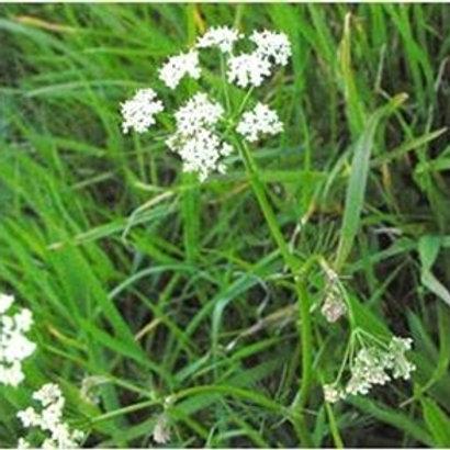 Pignut Wildflower Seed (Conopodium Majus)