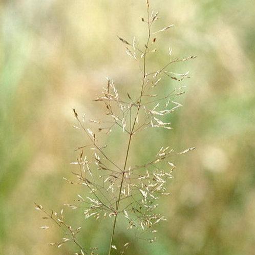Highland Bent Grass Seed (Agrostis Castellana)