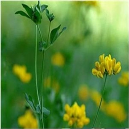 Marsh Birdsfoot Trefoil Wildflower Seed (Lotus Pedunculatus)