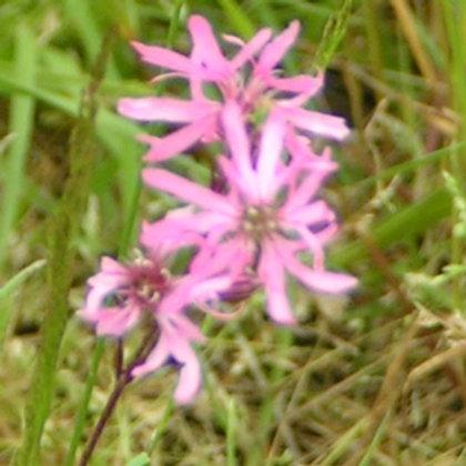 Ragged Robin Wildflower Seed (Lychnis Flos-cuculi)