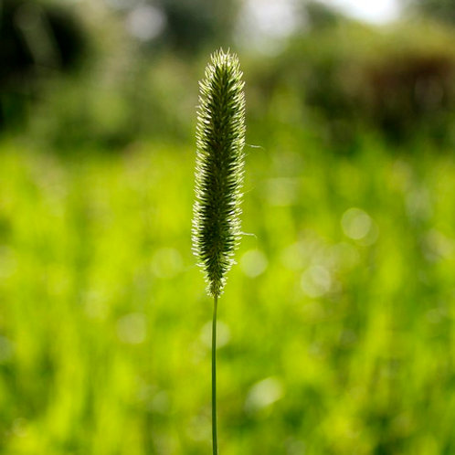 Small Leaved Timothy Seed (Smaller Catstail) (Phleum Bertolonii)