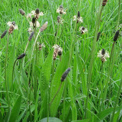 Tonic Plantain Seed (Ribwort Plantain Plantago Lanceolata) (per kg)
