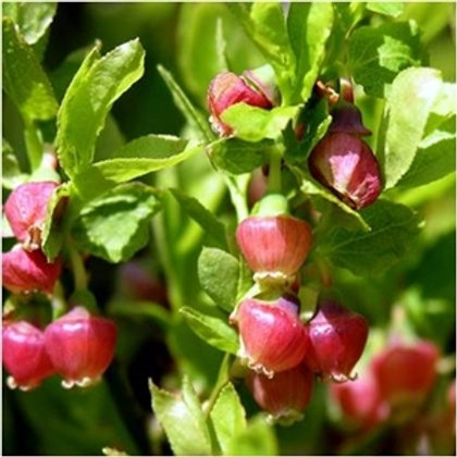 Bilberry Wildflower Seed (Vaccinum Myrtillus)