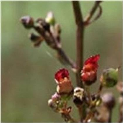 Figwort Wildflower Seed (Scrophularia Nodosa)