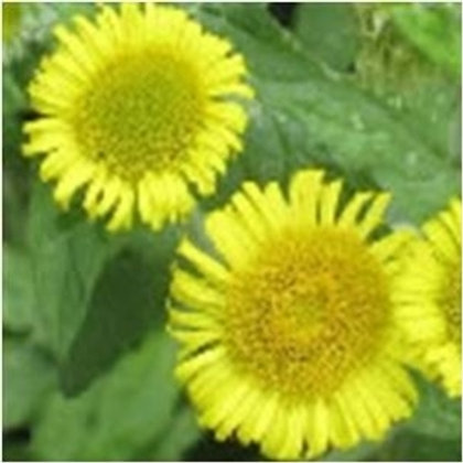 Common Fleabane Wildflower (Pulicaria Dysenterica)