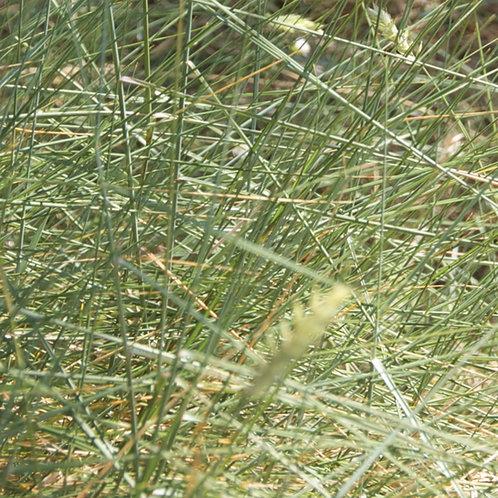 Hard Fescue Grass Seed (Festuca Trachyphylla)