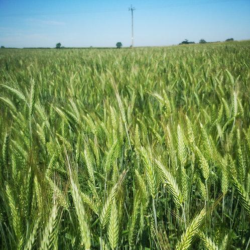 Organic Triticale Seed (50kg per acre)