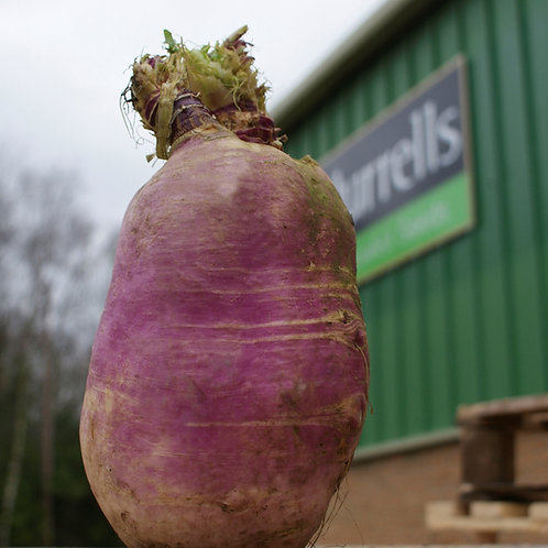Organic Frisia Stubble Turnip Seed (2kg per acre)