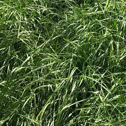 Organic Tall Fescue Grass Seed (Festuca Arundinacea)