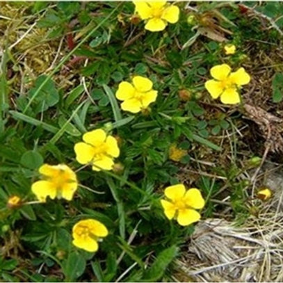 Tormentil Wildflower Seed (Potentilla Erecta)