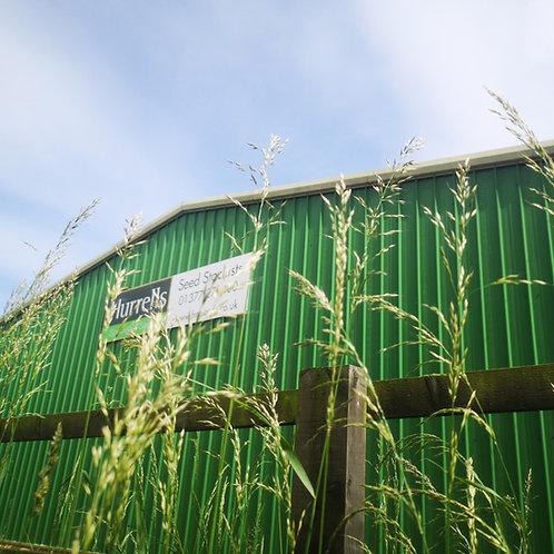 Tall Oat-grass Seed (False Oat-grass) (Arrhenatherum Elatius)