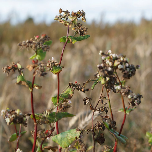 Organic Buckwheat Seed (20kg per acre)