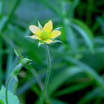 Wood Avens Wildflower Seed (Geum Urbanum)