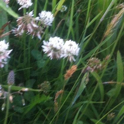 Wild White Clover Wildflower Seed (Trifolium Repens)