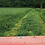 Thumbnail: Organic Westerwolds Ryegrass Grass Seed (Lolium Westerwoldicum) (Acre Pack) (SW5