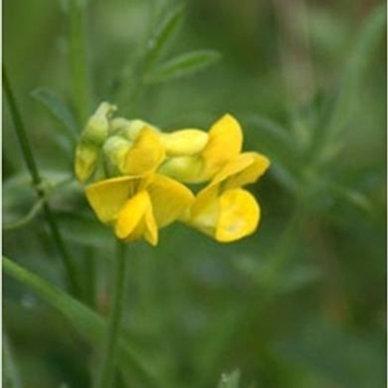 Meadow Vetchling Wildflower Seed (Lathyrus Pratensis)