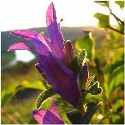 Clustered Bellflower Wildflower Seed (Campanula Glomerata)