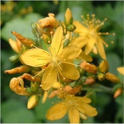 Hairy St John's Wort Wildflower Seed (Hypericum Hirsutum)