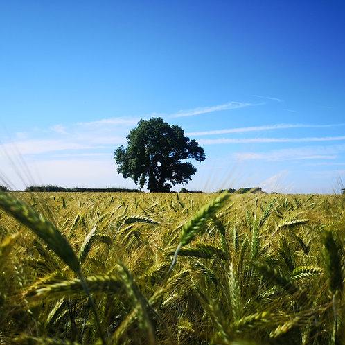 Triticale Seed (50kg per acre)
