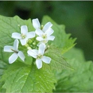 Garlic Mustard / Hedge Garlic Wildflower Seed (Alliaria Petiolata)
