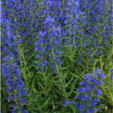 Vipers Buglos Wildflower Seed (Echium Vulgare)