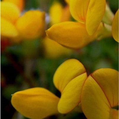 Greater Birdsfoot Trefoil Wildflower Seed (Lotus Uliginosis)
