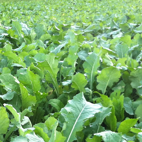 Organic Forage Rape Seed (3kg per acre)