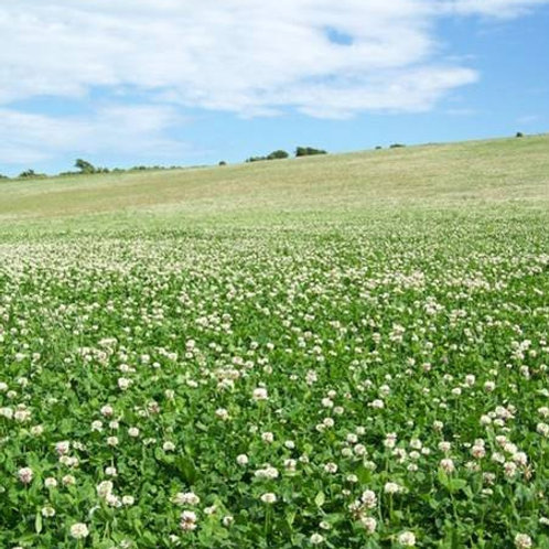 White Clover Seed Mix (3kg per acre)