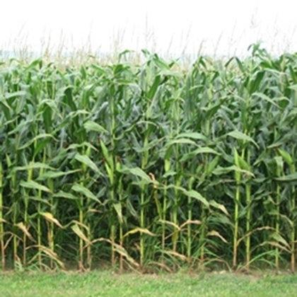 Absalon Forage Maize Seed (45,000 Seeds) (8 Maturity)