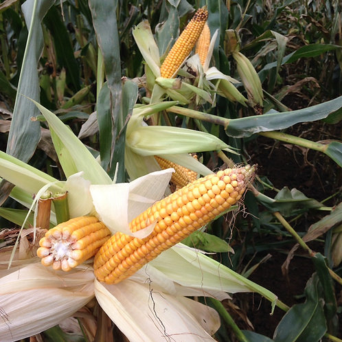 ES Remington Forage Maize Seed (45,000 Seeds) (9 Maturity)