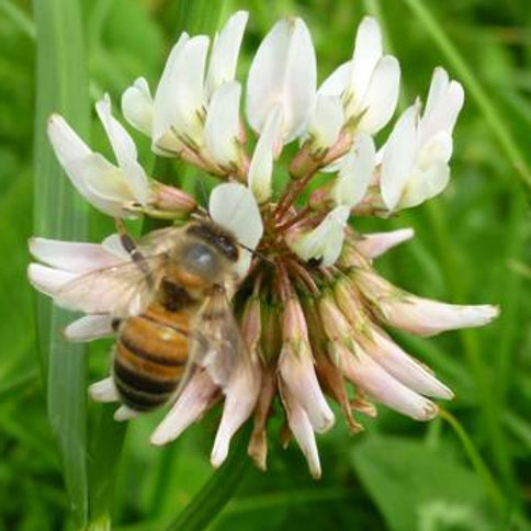 Organic White Clover Seed (3kg per acre)