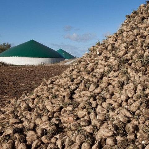 AD Plant - Energy Beet (Sugar Beet) Seed (Unit Packs)