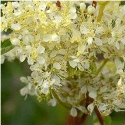 Dropwort Wildflower Seed (Filipendula Vulgaris)