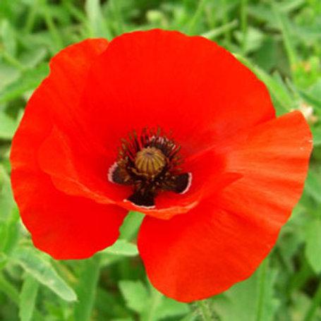 Corn Poppy Wildflower Seed (Papaver Rhoeas)